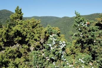 Δάσος συριακής αρκεύθου στην Αρκαδία (περιοχή Μαλεβής)