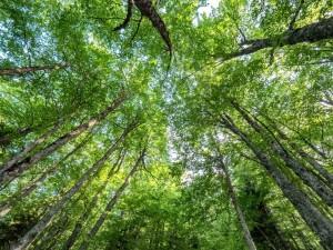 Δάσος οξιάς στη Ροδόπη