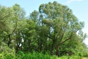 Δάση-στοές με είδη λεύκας και ιτιάς