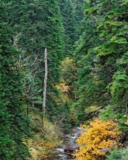 Δάσος ελάτης στον Ασπροπόταμο