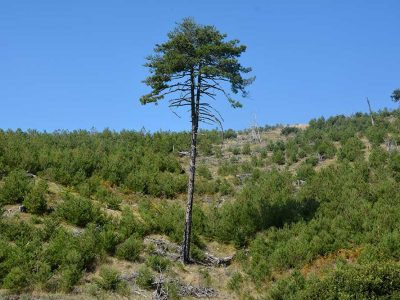 Black pine tree that was saved from the 2007 forest fire